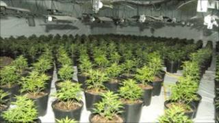 Cannabis seizure in Wortley