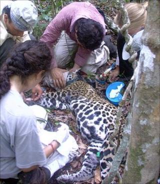 The team fitting a GPS collar to a wild jaguar (Image: Fernando Colchero)