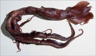 Squid (IUCN)
