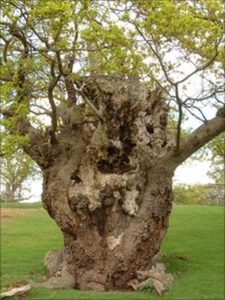 The Old Man of Moccas- a veteran tree which the Herefordshire Nature Trust hopes to save. Pic by Herefordshire Nature Trust