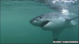 Great white shark off coast of Africa (Morne Hardenberg)