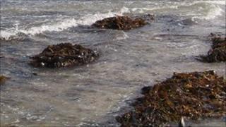 Seaweed generic