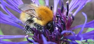Common carder bumblebee (Image: Kirsty Park)