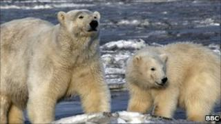 Polar bears (archive picture)