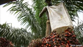 Man collecting oil palm fruit