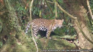 Jaguar in Yasuni National Park