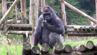 Paignton Zoo gorilla