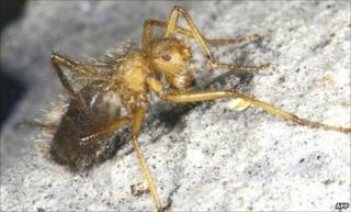 Terrible hairy fly