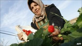 A Palestinian farmer picks strawberries in Beit Lahia, northern Gaza Strip, in November