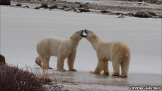 Two young male polar bears greeting each other on a frozen pond near Canada's Hudson Bay Coast