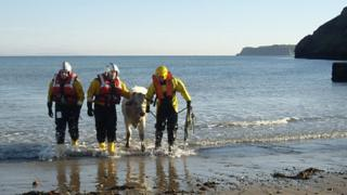 The rescue team helping the cow ashore