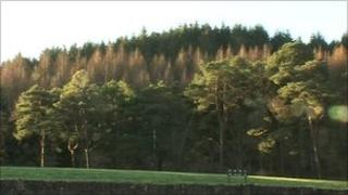 Brown diseased trees amid the greenery of healthy forest