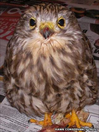 Injured kestrel