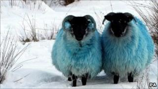 Dyed blue sheep in the hills of Co Antrim