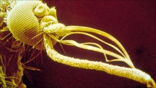 Coloured scanning electron micrograph of the head of a female yellow fever mosquito (Science Photo Library)