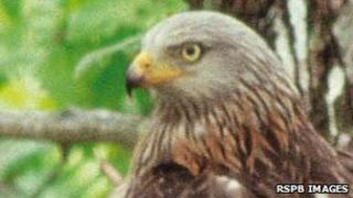 Red kite. Pic: RSPB Images