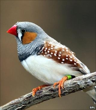 Zebra finch (Image: Science Photo Library)