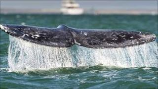 A whale's fluke seen off Mexico on 28 February 2010