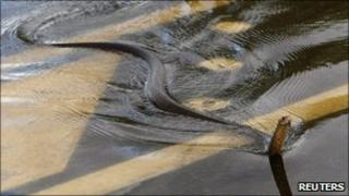 A snake crosses the Capricorn Highway, near Rockhampton, Queensland, Australia