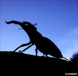 Adult stag beetle (Image: Deborah Harvey)