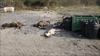 Animal carcasses at Knowsley Safari Park