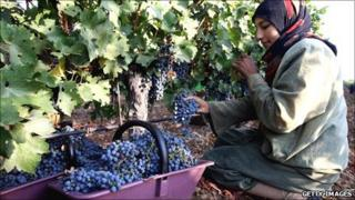Woman harvesting grapes in Lebanon
