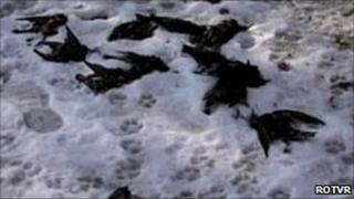 Dead birds lying in the snow in the city of Constanta, in eastern Romania, 9 January 2011