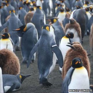 Penguins - some banded