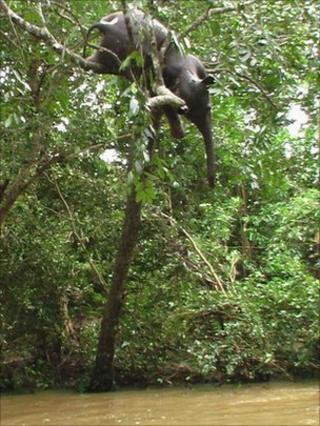 Dead elephant in a tree (photo: Kanchana Kumara Ariyadasa)