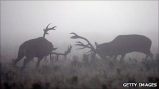 Rutting red deer