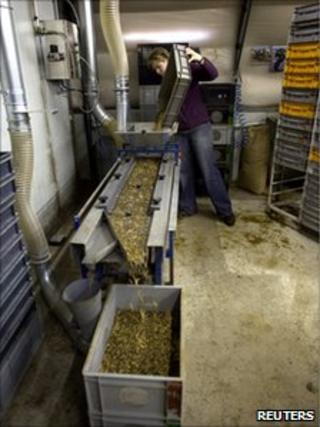 Marieke Callis drops Buffalo worms at on to a processing line at her insect farm in Ermelo, the Netherlands