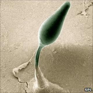 Dictyostelium fruiting body