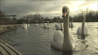 Swans at Hammond Pond