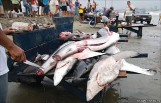 Dead sharks on beach