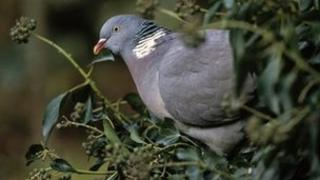 Wood pigeon sitting in hedge