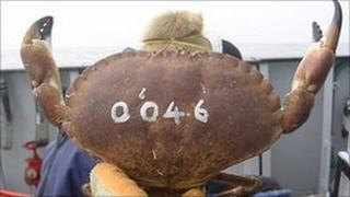 Marked crab