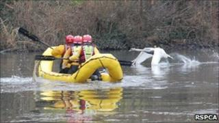 Swan swimming away from boat