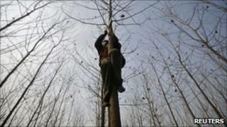 A man trims the branches of a poplar tree
