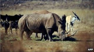 This file photo taken on July 21, 2010 shows a rhinocero grazing in the private Rhino and Lion Nature Reserve in Krugersdorp, north of Johannesburg.