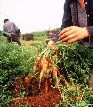 Organic carrots being picked in a field (Image: PA)