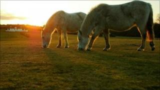 New Forest ponies grazing during sunrise