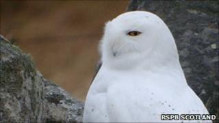 Snowy owl. Pic: RSPB Scotland