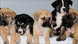 Blue Cross orphan puppies
