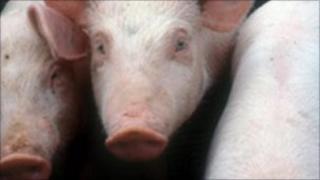 Pigs - generic