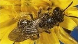 Mason bee (Osmia sp.) pollinating a flower.