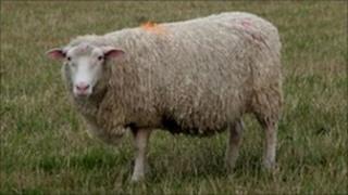 Sheep (generic image)