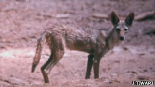 Image of what is believed to be an African wolf (Image: Jugal Tiwari/ WildCRU)