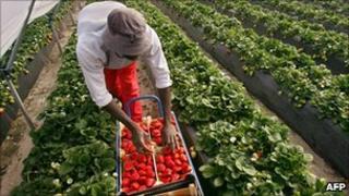 Man picking strawberries in Ghana