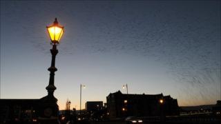 Starlings performing their dusk routine over Belfast's Albert Bridge