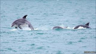 Dolphins in Guernsey (photo by Chris Bale)